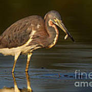 Tricolor Heron With Small Fish Poster