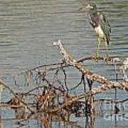Tri-colored Heron On The Water Poster
