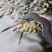 Tri Colored Heron Profile Poster