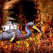 Tri Colored Heron - Reflection Poster