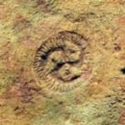 Tribrachidium Fossil Poster