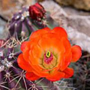 Trichocereus Cactus Flower  Poster