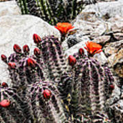 Trichocereus Cactus Flowers Poster