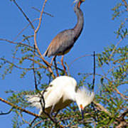 Tricolored Heron And Snowy Egret Poster
