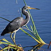 Tricolored Heron At The Pond Poster