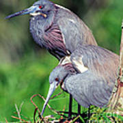 Tricolored Heron Male And Female At Nest Poster