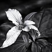 Trillium - Black And White Poster