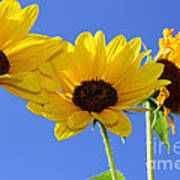 Trio In The Sun - Yellow Daisies By Diana Sainz Poster