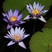 Trio Of Purple Water Lilies Poster