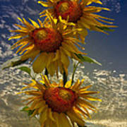 Trio Of Sunflowers Poster