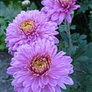 Triplets Of Purple Mums Poster