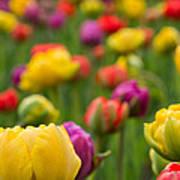 Triumphant Tulips Poster