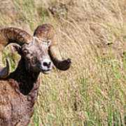 Trophy Bighorn In The Grass Poster