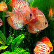 Tropical Discus Fish Group Poster