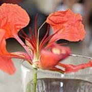 Tropical Flamboyant Flower Poster