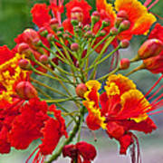 Tropical Flower Caesalpinia Red And Yellow Poster