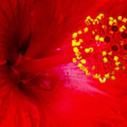 Tropical Hibiscus - Trinidad Wind 02a Poster