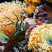 Tropical Wonderland - Banggai Cardinalfish Poster