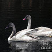 Trumpeter Swan Cygnets Poster