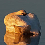 Trumpeter Swan On Swan Lake Poster