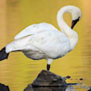 Trumpeter Swan Preening, Cygnus Poster