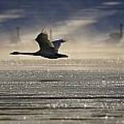 Trumpeter Swan Silhouetted In Flight Poster