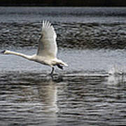 Trumpeter Swan Walking On Water Poster
