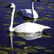 Trumpeter Swans In The Blue Poster