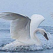 Trumpeter Swans Touchdown Poster