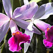 Trumpeting Purple Cattleya Orchids Poster