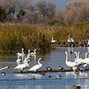 Trunda Swans  Mixed Ducks Poster