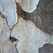 Trunk Of A Eucalyptus Tree  Poster