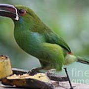 Tucan Eating Poster