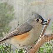 Tuffted Titmouse Early Spring Poster