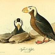 Tufted Puffins Poster by Philip Ralley