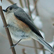 Tufted Titmouse Male Poster