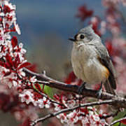 Tufted Titmouse On Ornamental Plum Blossoms Poster