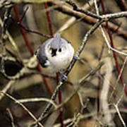 Tufted Titmouse On The Watch Poster