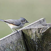Tufted Titmouse With Seed Poster