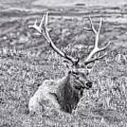 Tule Elk In Black And White  Poster