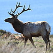 Tules Elks Of Tomales Bay California - 7d21218 Poster by Wingsdomain Art and Photography