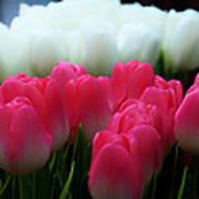 Tulip 7 Poster