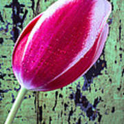 Tulip Against Green Wall Poster