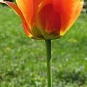 Tulip Backlit 14 Poster
