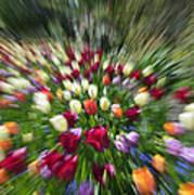 Tulip Explosion Poster