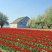 Tulip Field In Washington Stae Usa Poster