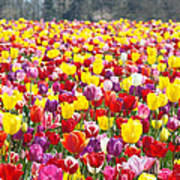 Tulip Flower Festival Art Prints Spring Poster