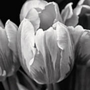 Tulip Flowers Black And White Poster