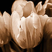 Tulip Flowers Sepia Monochrome Poster