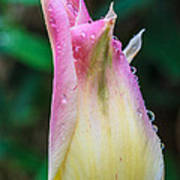 Tulip After The Rain Poster